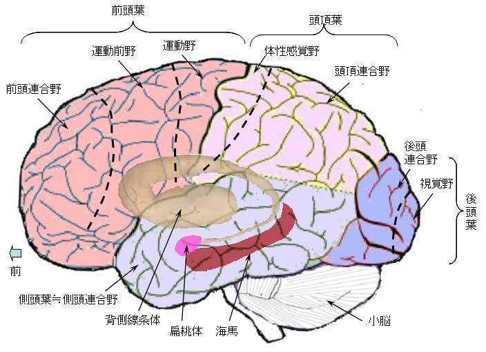 脳の構造図:外側表面(各連合野・海馬・扁桃体・小脳)