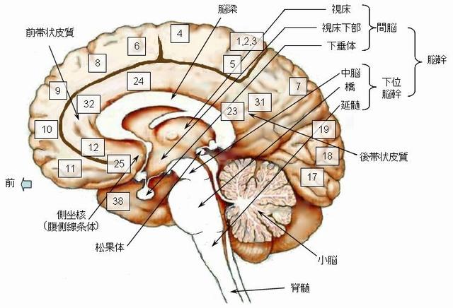 脳の構造図:中心断面・内側表面(脳幹・側坐核・松果体・小脳)