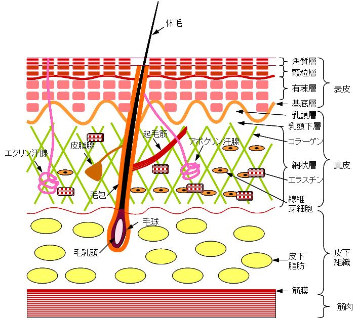 皮膚・毛根・汗腺・皮脂腺の構造